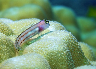 Reef-dwelling fish - Scuba diving Anambas